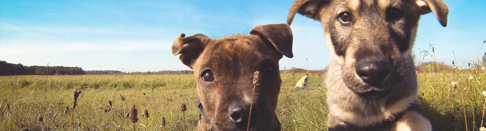 puppies field